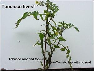 tomacco1.jpg